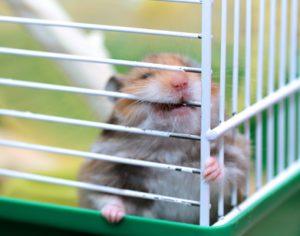 Hamster nagt am GItter - knabbert am Gitter