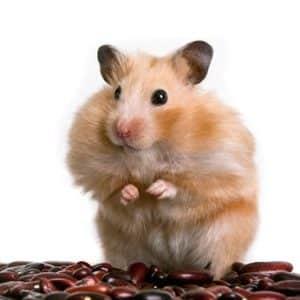 hamster haltung volle Backe