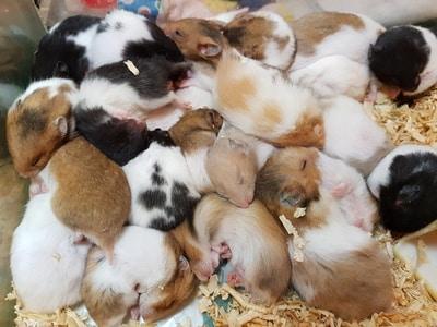 Hamster Nachwuchs